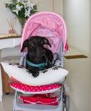 Joli chien dans une poussette Photo stock