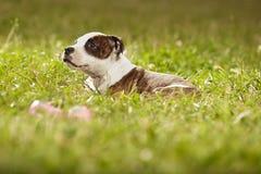 Joli chien de bull-terrier du Staffordshire de bébé en parc Photo libre de droits