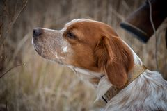 Joli crabot Portrait d'un chien de chasse qui renifle l'air à la recherche d'un oiseau Breton d'Epanyulya Brittany Spaniel photographie stock libre de droits