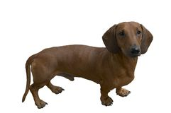 Joli dachshund Image libre de droits