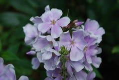 Joli groupe de Pale Pink Phlox Flowers de floraison Photographie stock libre de droits