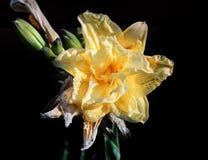 Joli jardin jaune Terry Lily image stock