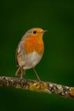 Joli oiseau avec un plumage intéressant de rouge orange photo stock