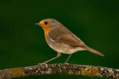 Joli oiseau avec un plumage intéressant de rouge orange photos libres de droits