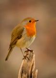 Joli oiseau avec un plumage intéressant de rouge orange photos stock