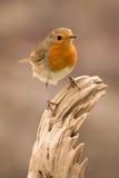 Joli oiseau avec un plumage intéressant de rouge orange image libre de droits