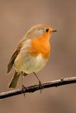 Joli oiseau avec un plumage intéressant de rouge orange images libres de droits