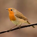 Joli oiseau avec un plumage intéressant de rouge orange photo libre de droits