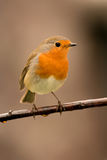 Joli oiseau avec un plumage intéressant de rouge orange image stock