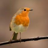 Joli oiseau avec un plumage intéressant de rouge orange photographie stock