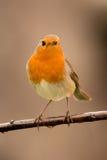 Joli oiseau avec un plumage intéressant de rouge orange images stock