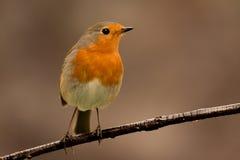 Joli oiseau avec un plumage intéressant de rouge orange photographie stock libre de droits