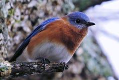 Joli oiseau bleu Photos stock
