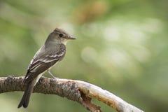 Joli oiseau sur une branche avec le beau fond vert photographie stock libre de droits