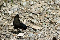 Joli papillon foncé été perché au sol, Kyoto, Japon photos stock