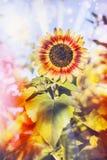 Joli tournesol dans le jardin Photos libres de droits