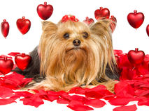 Joli Yorkie avec les coeurs et les pétales rouges Photographie stock