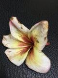 Jolie fleur blanche rosâtre Photographie stock libre de droits