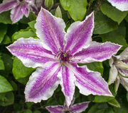 Jolie fleur de clématite Photo stock