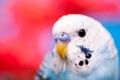 Jolie perruche photo libre de droits