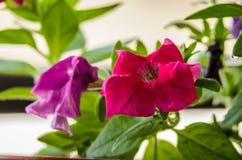 Jolies feuilles de fleur et de vert de pétunia Photo libre de droits
