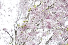 Jolies fleurs de cerisier au Japon Photos stock