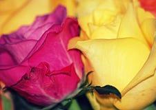 Jolies roses Photo libre de droits