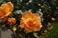 Jolies roses de pêche dans Rose Garden un jour d'été Images stock