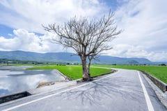 Jolin Tsai tree at Brown Avenue with beautiful paddy field royalty free stock photography