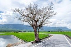 Jolin Tsai tree at Brown Avenue with beautiful paddy field royalty free stock photos