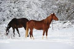 Jolis chevaux dans la neige, l'hiver au Michigan Etats-Unis Photos stock