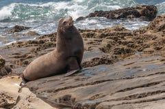 Jollaen av San Diego Californianusen för Kalifornien sjölejonZalophus Deras färg varierar från brunt till choklad i män till a royaltyfria bilder