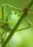 Jolly grasshopper. On a leaf - extremely close up Royalty Free Stock Photo