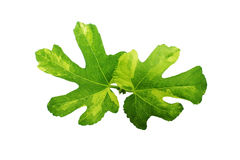 Jolly Tiger figs leaves. Royalty Free Stock Photos