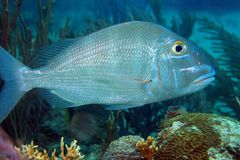 Jolthead porgy fish Stock Images
