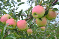 Jonathan Apples Royalty Free Stock Images
