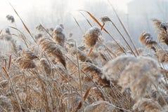 Jonc dans le vent froid images libres de droits