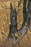 Jonc et la branche d'arbre avec le polypore au coucher du soleil Image libre de droits