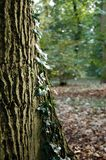 Joncteur réseau d'arbre avec le lierre Photos stock