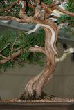 Joncteur réseau d'arbre de bonzaies photo stock