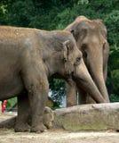 Joncteur réseau de deux éléphants Photo stock
