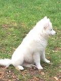Jong Amerikaans Eskimopuppy Royalty-vrije Stock Afbeelding