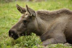 Jong Amerikaanse elandenkalf Royalty-vrije Stock Afbeelding