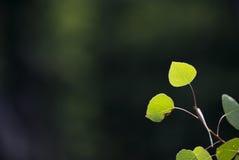 Jong Aspen Leaves Stock Foto's