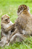 Jong Barbarije Macaque & x28; Macaca sylvanus& x29; verzorgend volwassen mannetje Royalty-vrije Stock Fotografie