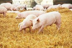Jong biggetje op hooi bij varkensfokkerij stock foto's
