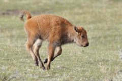 Jong Bison Calf die in Yellowstone lopen stock foto's