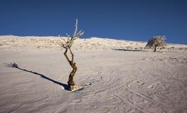 Jong boompje in de sneeuw Stock Fotografie