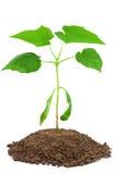 Jong boompje van de esdoorn van Noorwegen op wit Stock Afbeelding