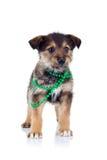 Jong bruin puppy Royalty-vrije Stock Afbeeldingen